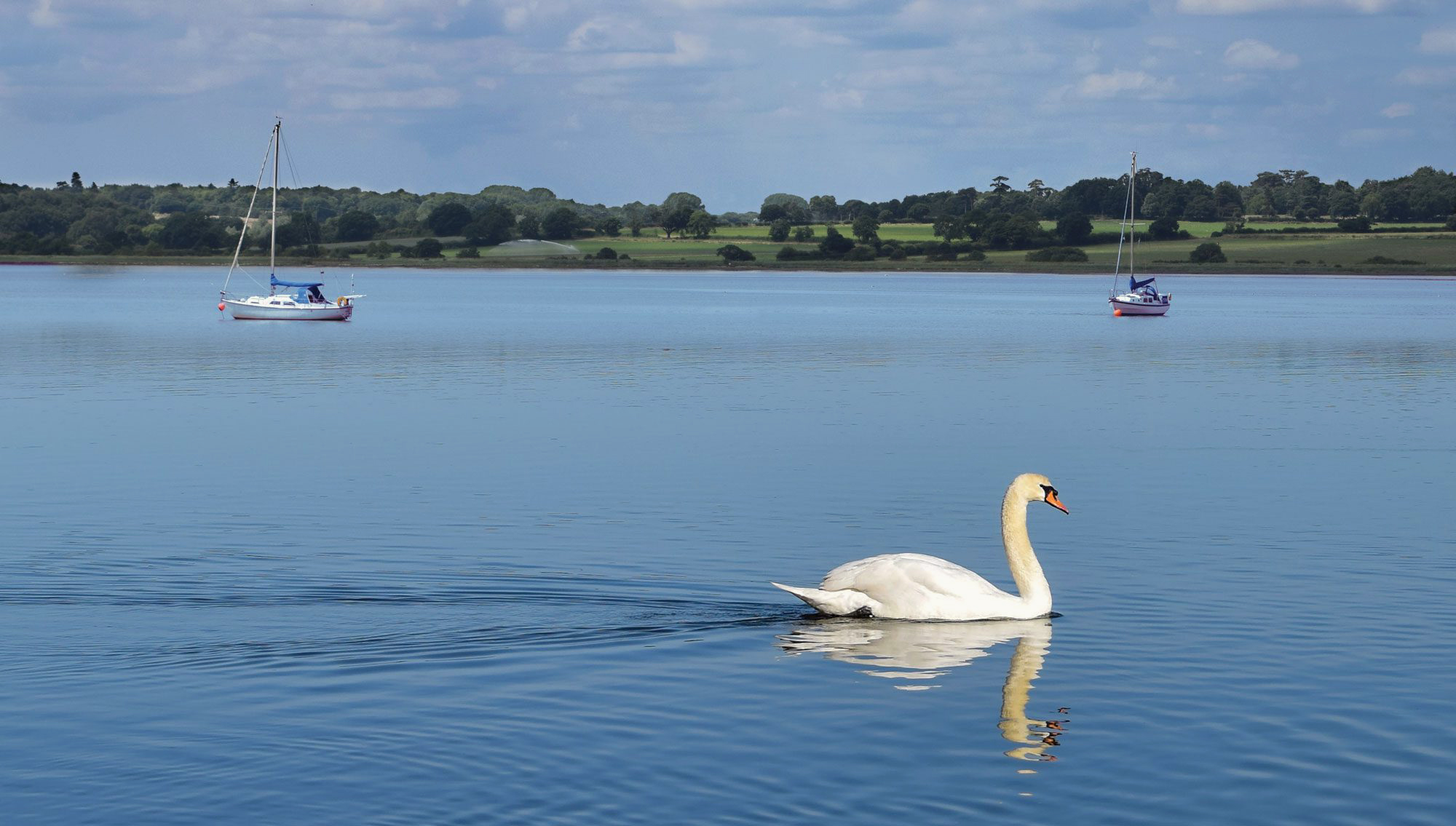 Swan On A Lake In Essex